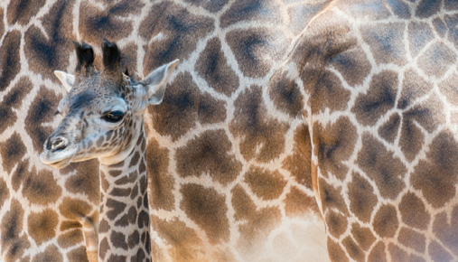 https://tickertapecdn.tdameritrade.com/assets/images/pages/md/Growing giraffe: Growth investors consider large-cap stocks as well as small-caps