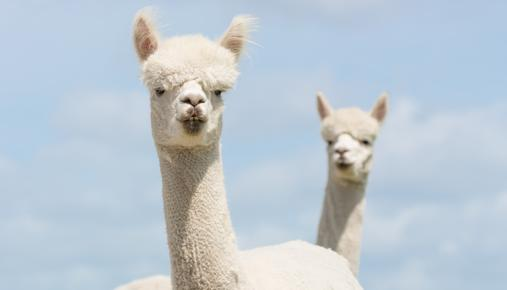 https://tickertapecdn.tdameritrade.com/assets/images/pages/md/2-Headed Llama: Hedging your Portfolio